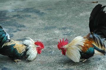 Trik Menang Di Sabung Ayam Online Via Android